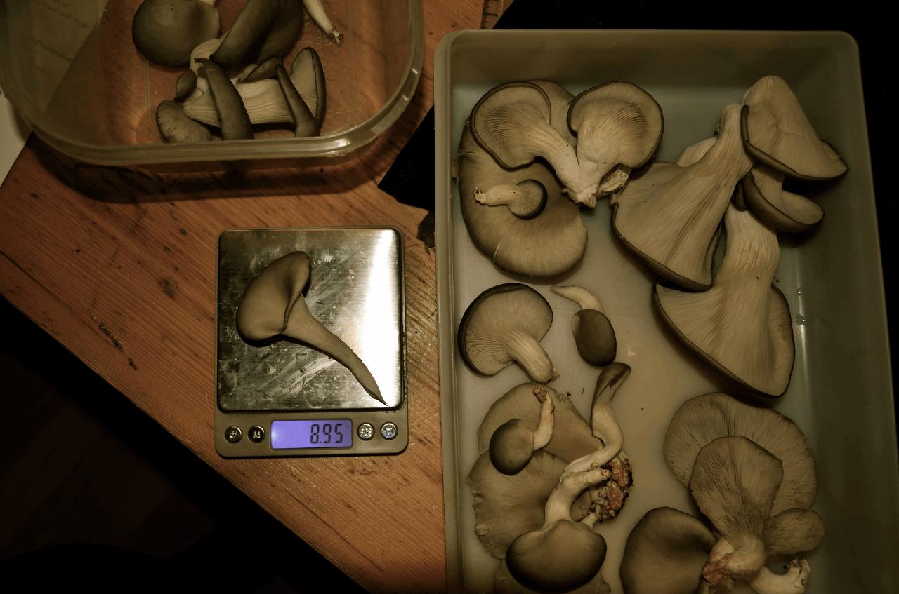 Découvrez les photos de notre dernière récolte de pleurotes